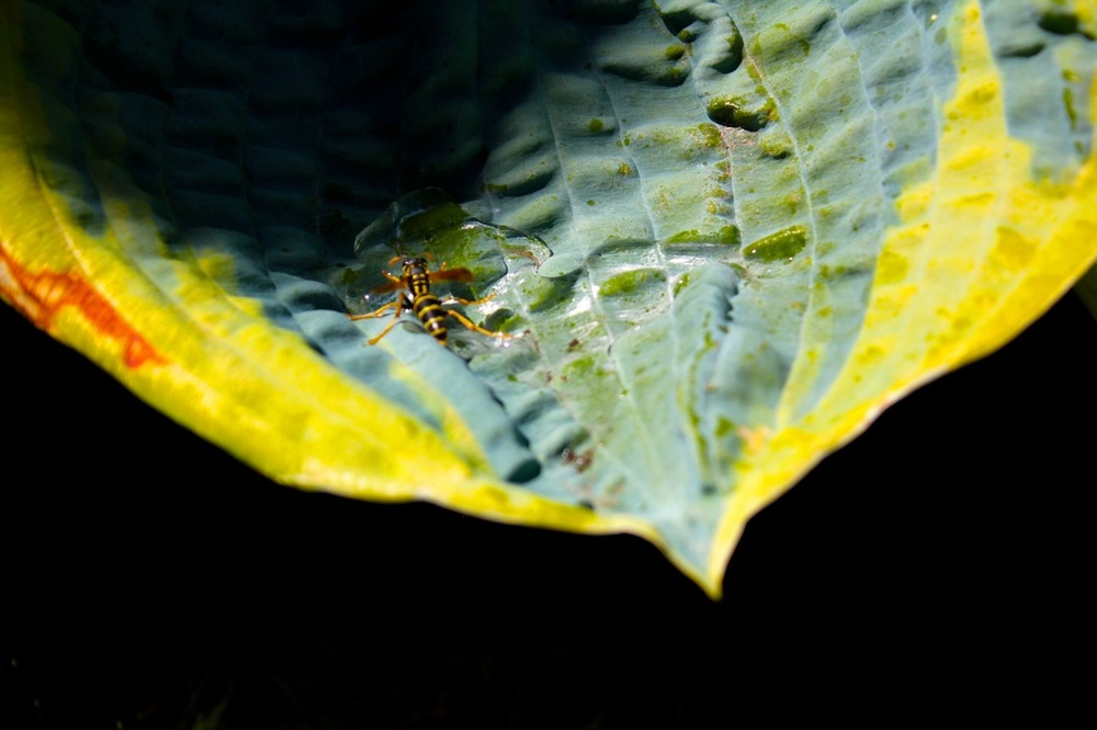 wasp (JQ).jpg