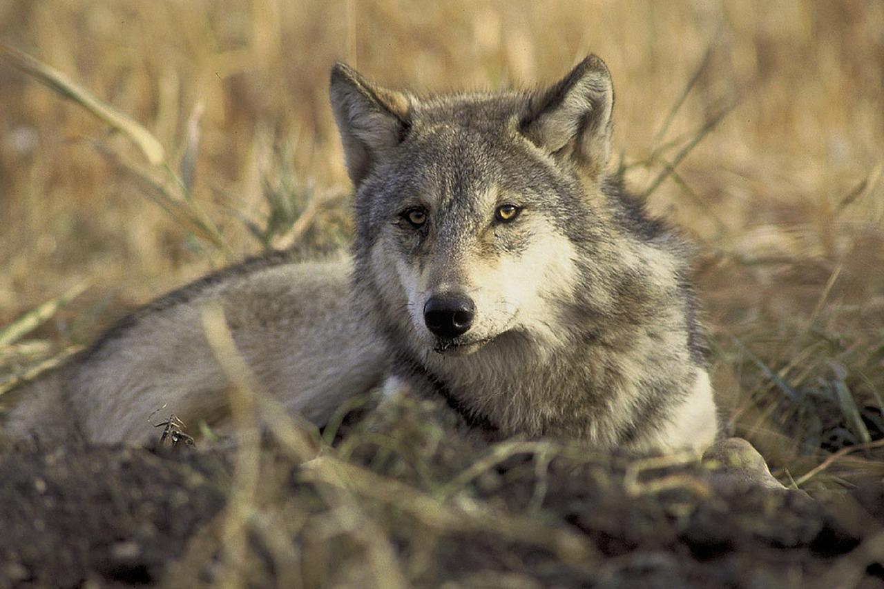 wolf-702820_1280.jpg