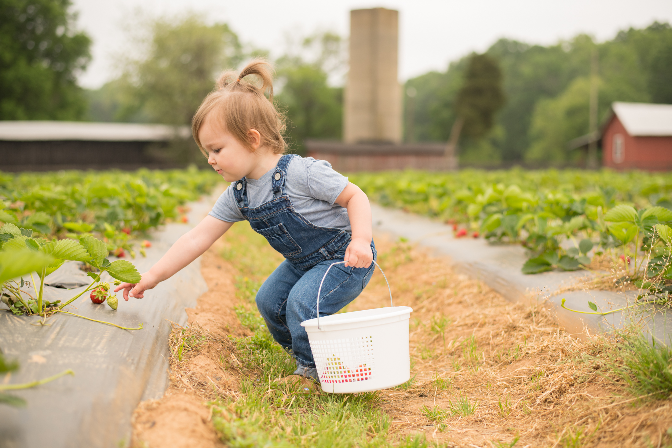 STRAWBERRY PICKING-2.jpg