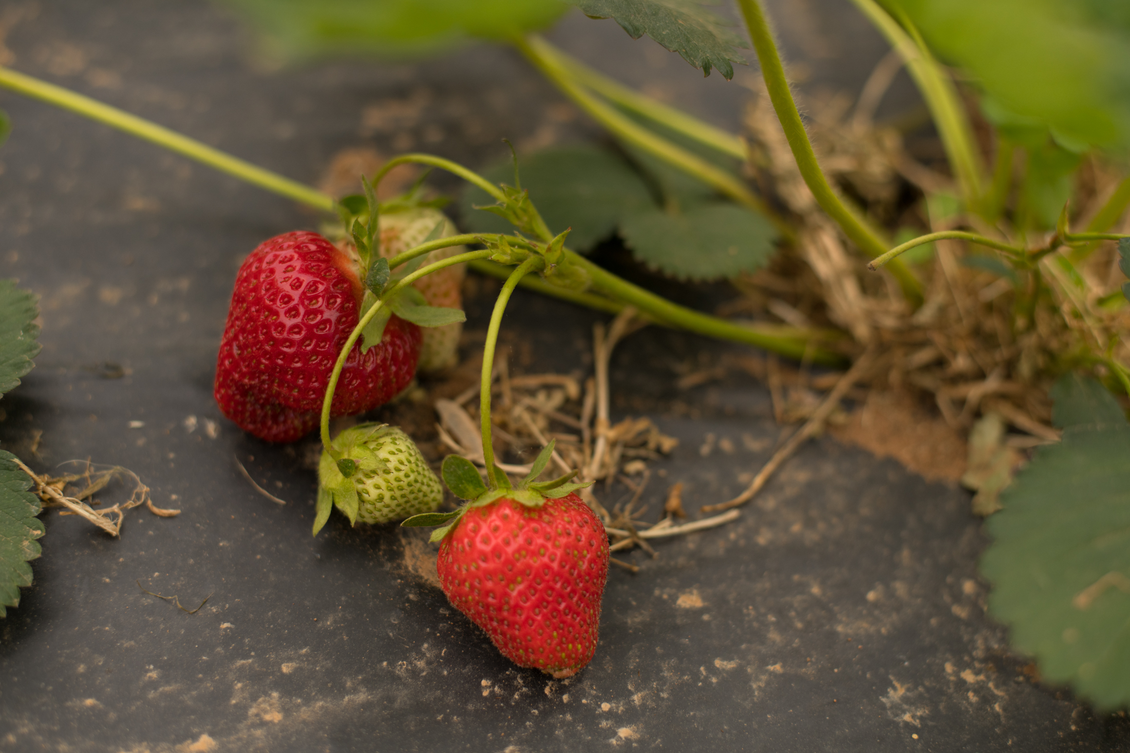STRAWBERRY PICKING-61.jpg