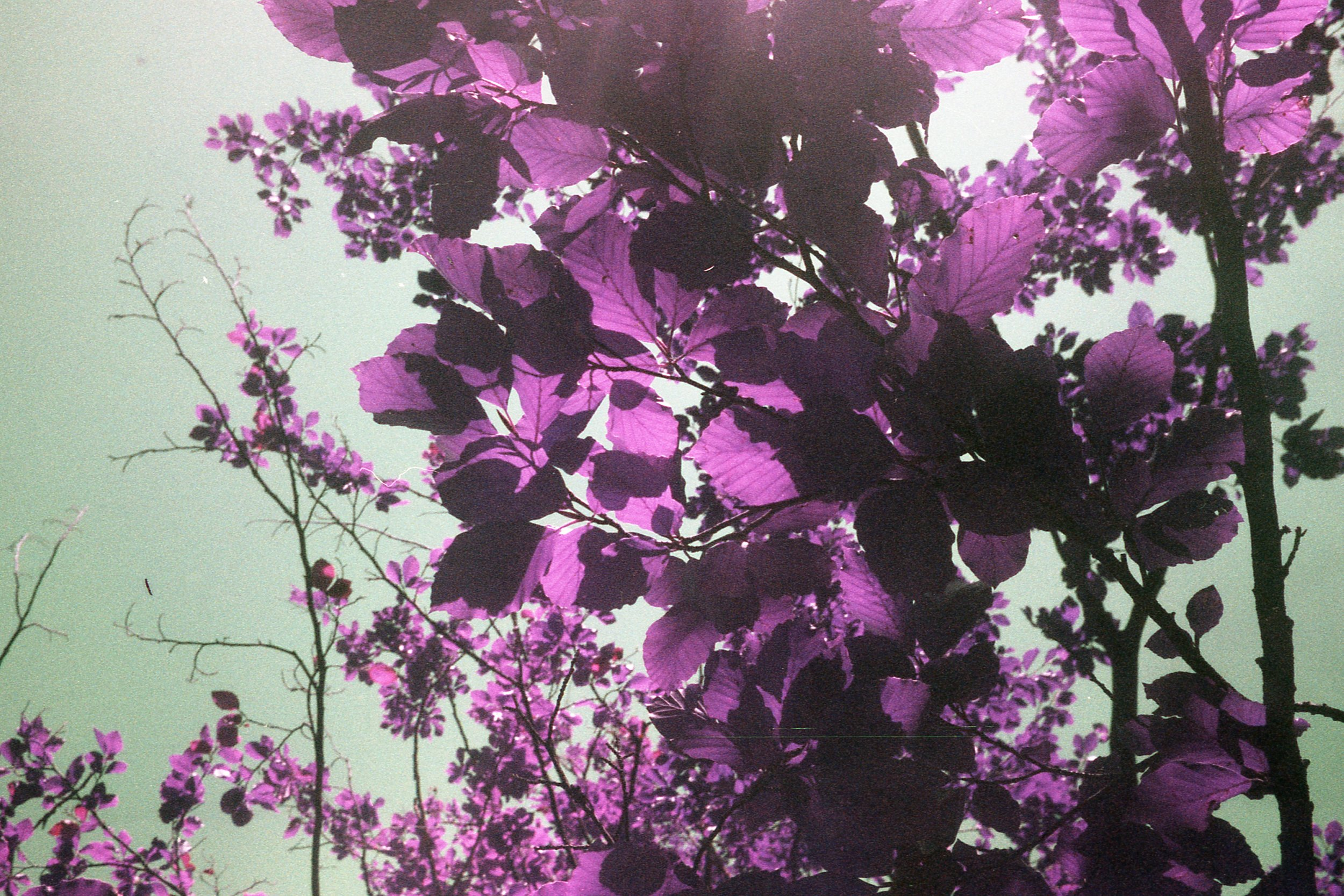 Lomo Purple Photograph Kranska Gora Leaves