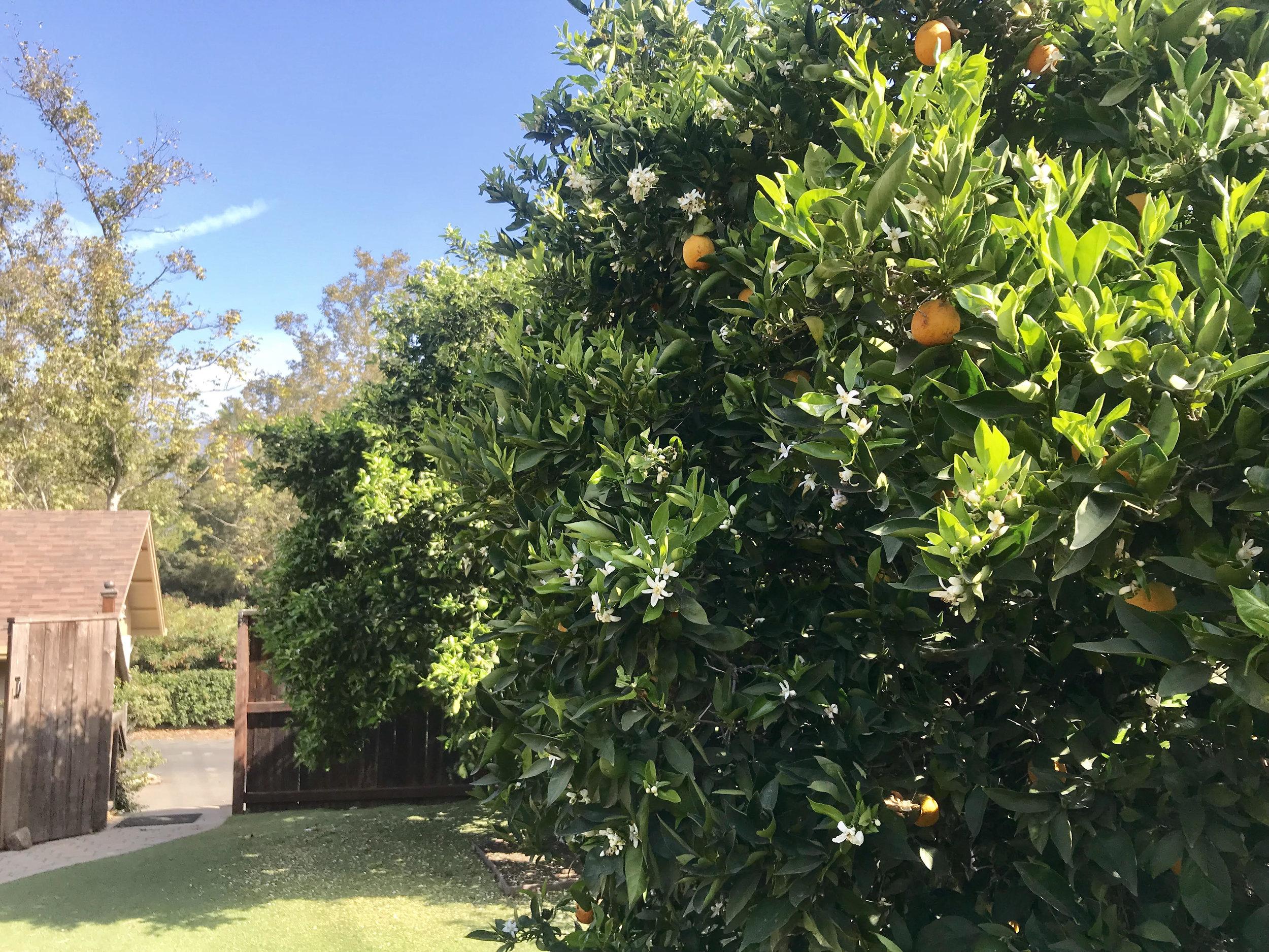 orange tree photo.jpg