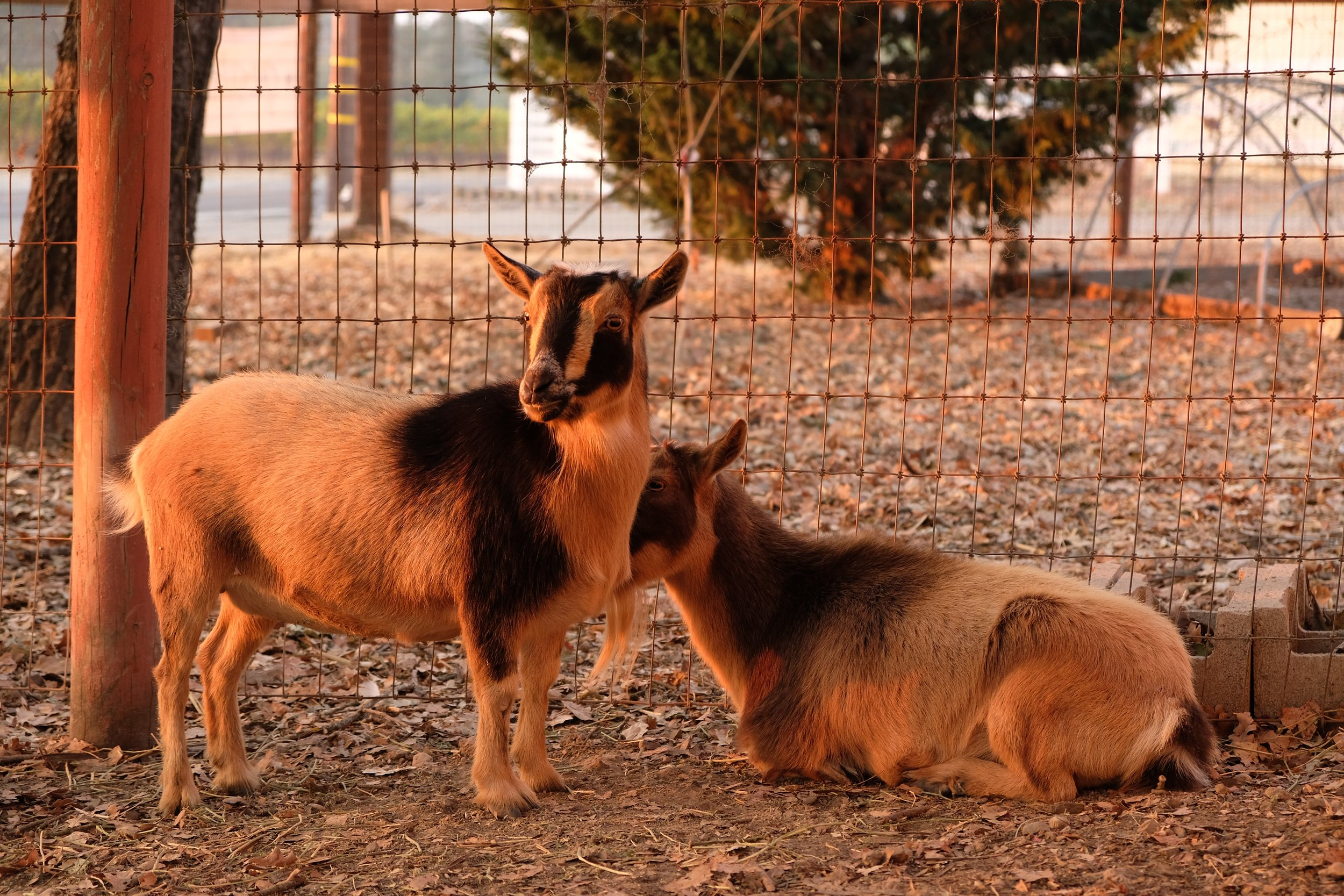 Golden brown Goats.jpg