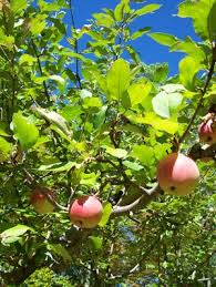Craigardan orchard.jpg