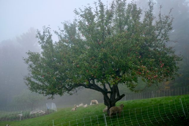 appletree_sheep.jpg