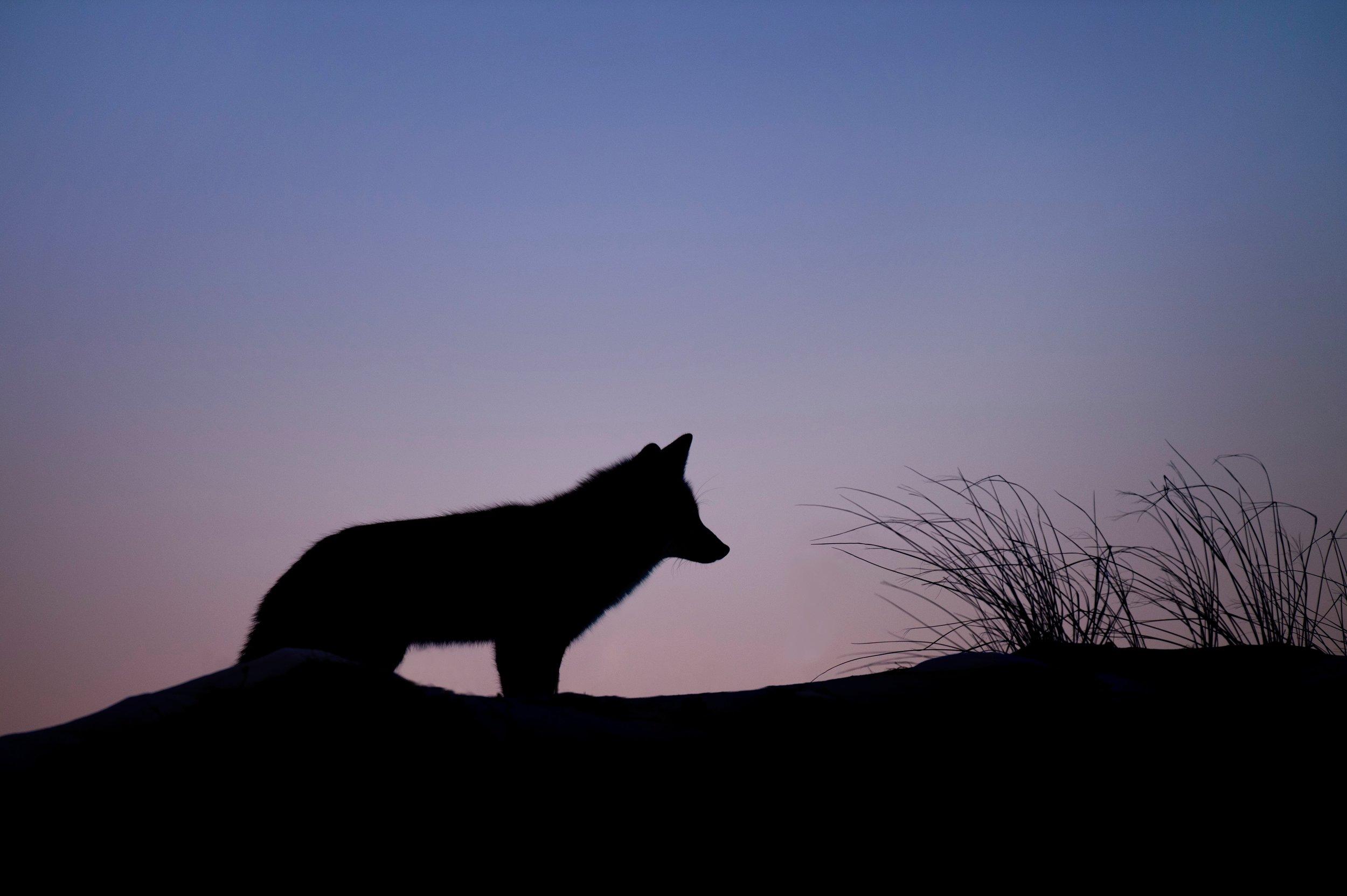 foxdawn.jpg