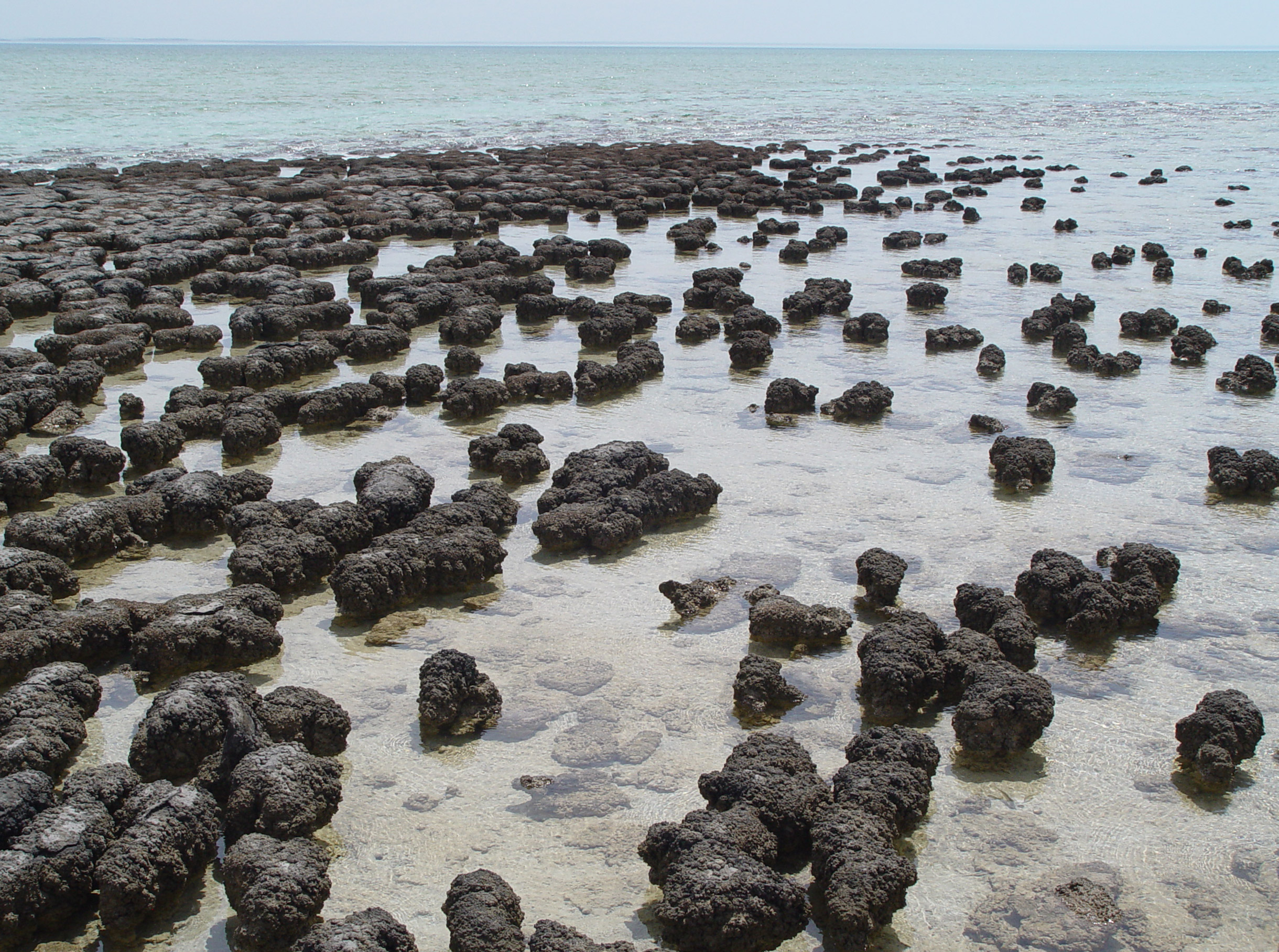 The stromatolites shown in the photograph above are fossils which were produced by cyanobacteria 3.5 billion years in Shark Bay, Australia. Cyanobacteria - a simple, single-celled lifeform - produced large amounts of oxygen via photosynthesis causing the first major oxygenation even in Earth's history.  Photograph taken by Paul Harrison.