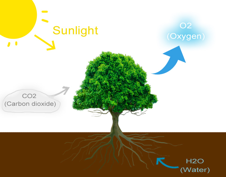 The infographic above shows how plants, via the process of photosynethesis, use light (sunlight or artificial light), carbon dioxide and water to produce breathable oxygen.