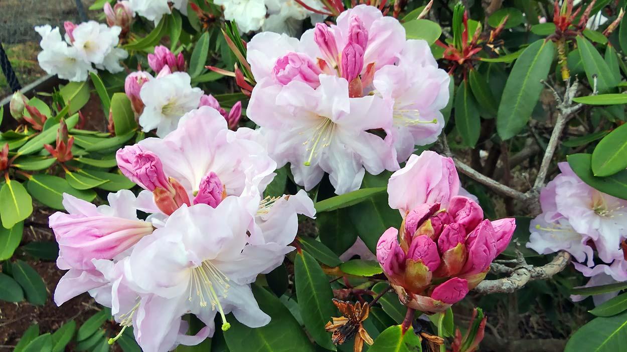 R.vernicosum bud & leaf pink form