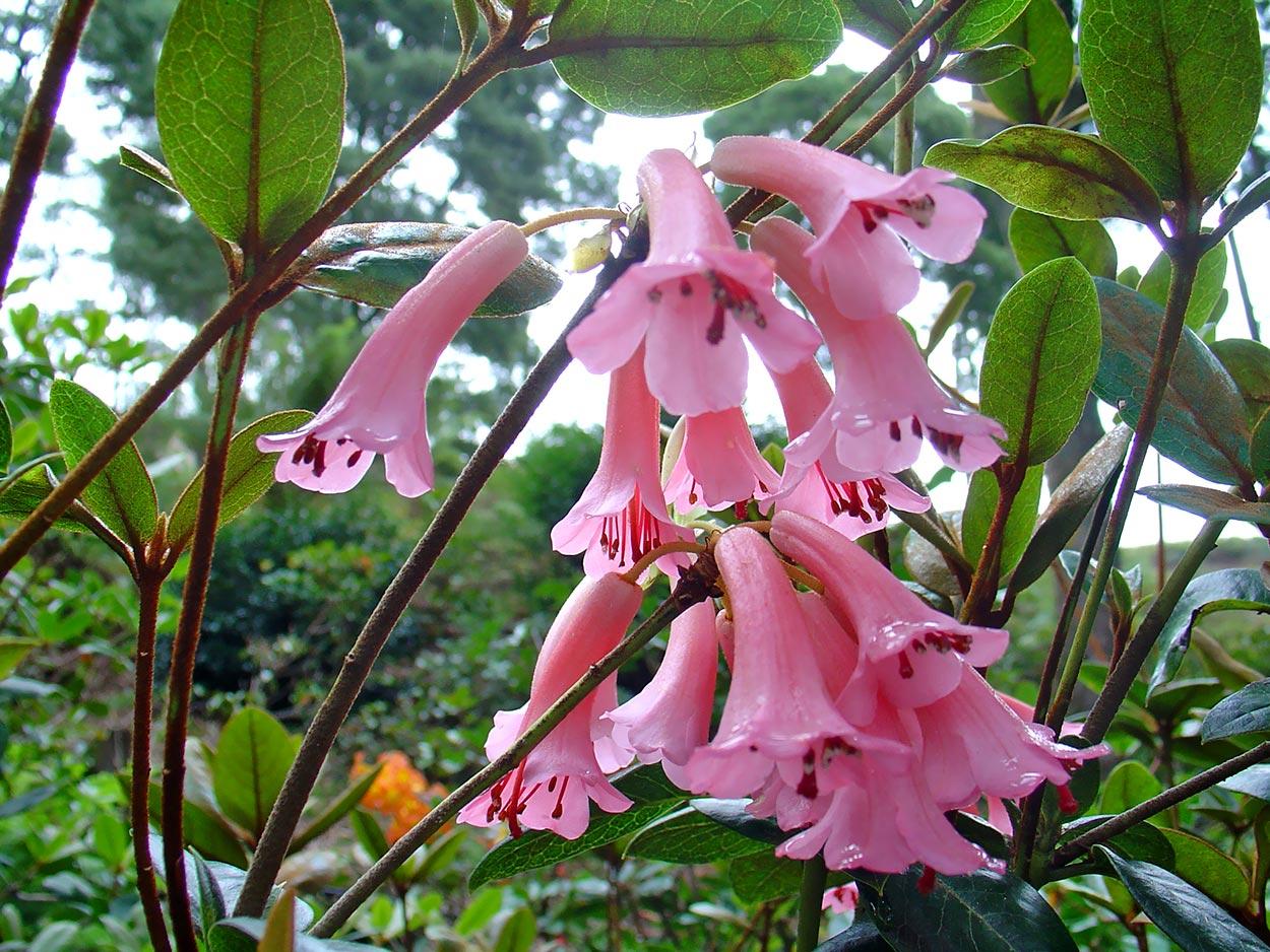 R.phaeochitum