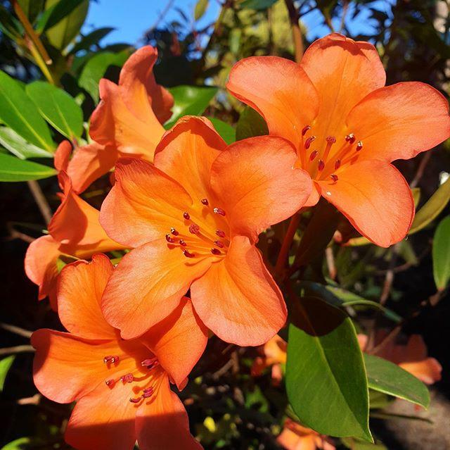 Hello spring!! #tassiespring #flowers #rhododendron #spring #september2019 #burnie #garden #tassiestyle