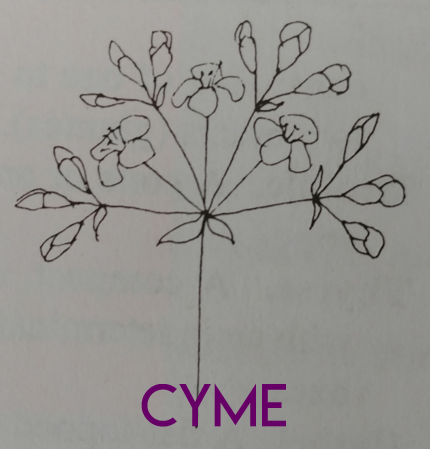 Cyme.png