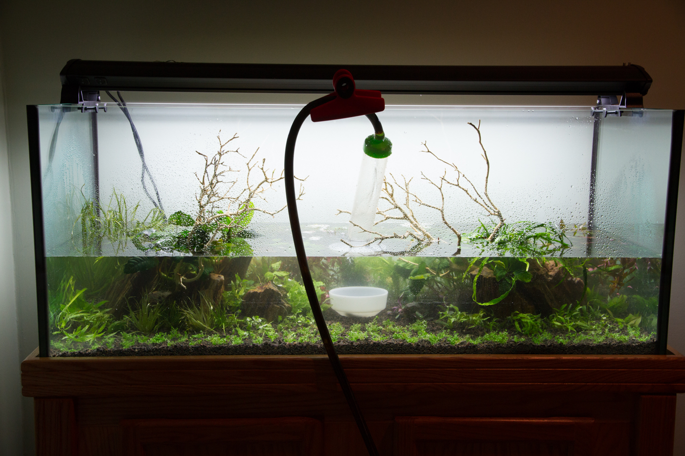 """Once the tank is filled to this level, you can increase the flow a little bit more. Don't be in a hurry, though. The slower you fill, the clearer that tank will remain. At this point I had also finished the planting of background stem plants. I use a wood working clamp or """"chip clip"""" to hold the hose in place. this serves two purposes. It keeps the hose from popping out of the tank if I wander away during filling, and it makes sure that the stream of water remains pointed at the dish, so the the water flow doesn't disturb the substrate."""