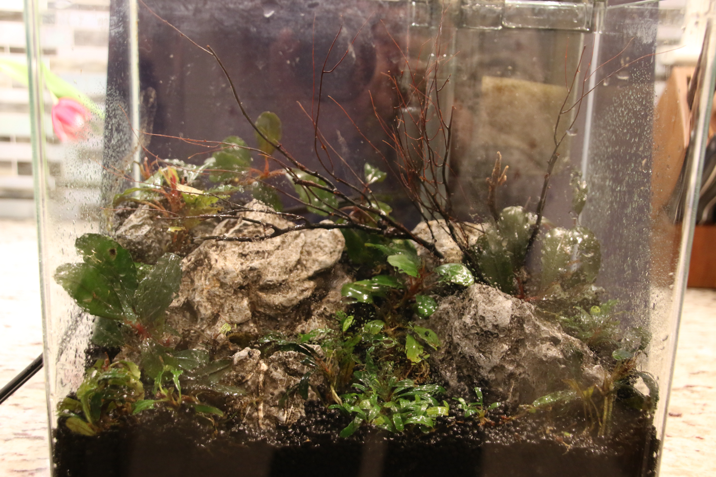 "This was a little 2 1/2 gallon Bucephalandra tank.  Obviously, there as no room for a dish in here, and it was even too small for the ""bucket on the edge"" treatment."