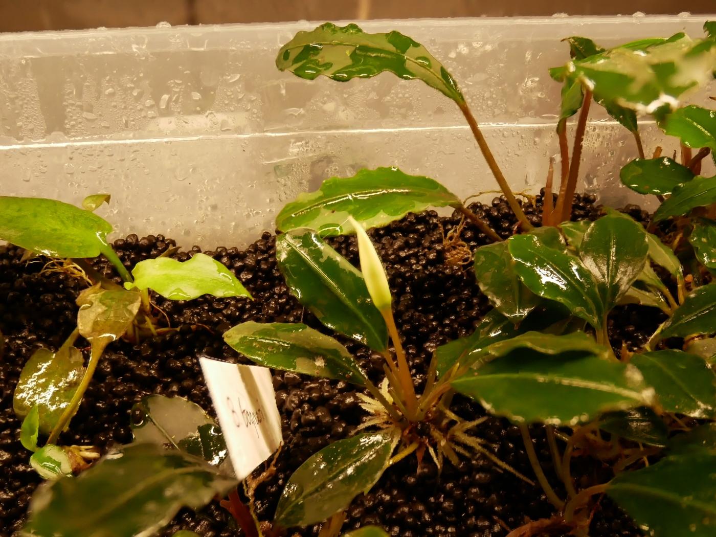 Bucephalandra bogneri spathe