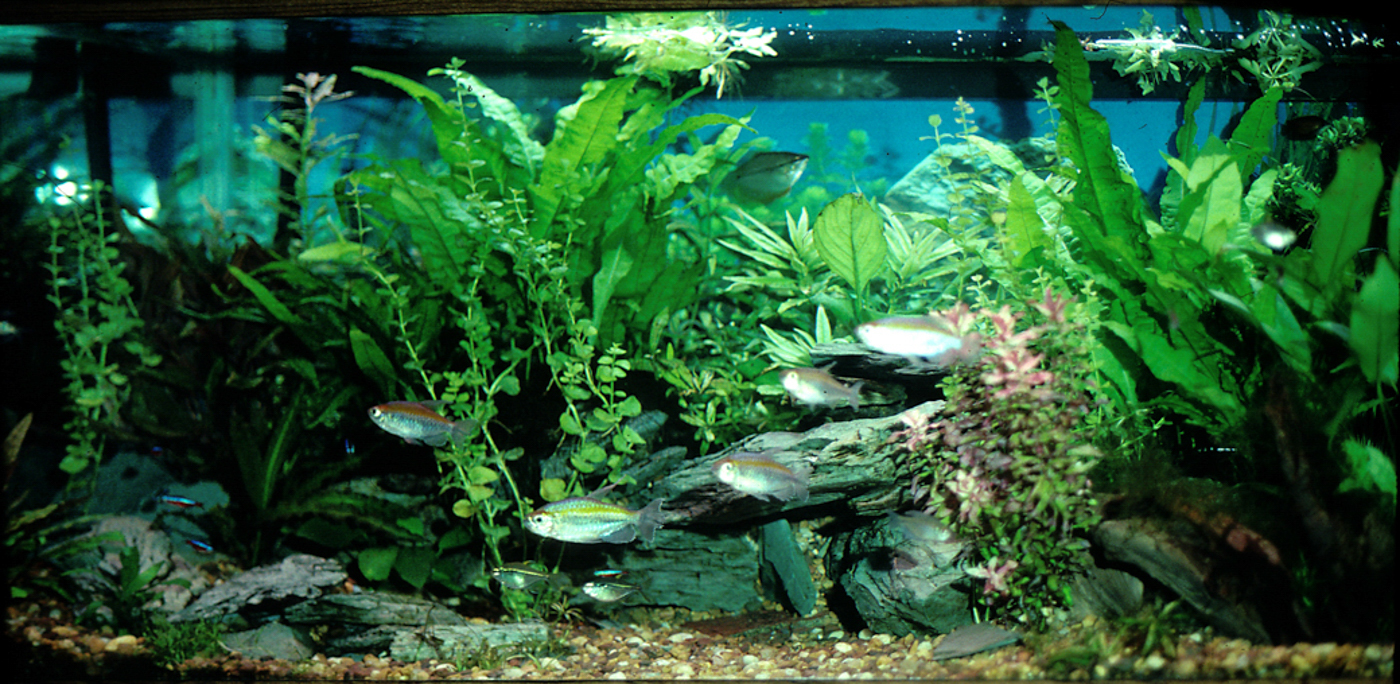 A (very) old tank, with large Java fern 'planted' in the heavy gravel substrate. There was nothing with any nutritional content in this substrate other than some mulm(which I dutifully sucked out fairly often) You can see, in this setting, the Java ferns are faring better than the plants that would do better with more nutrients in their substrate!