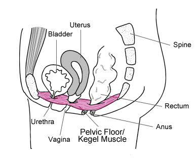 image of pelvis.jpg