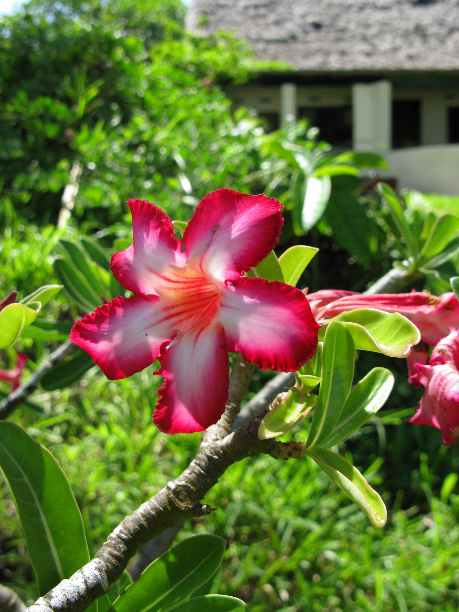 Desert Rose, Sand Island gardens