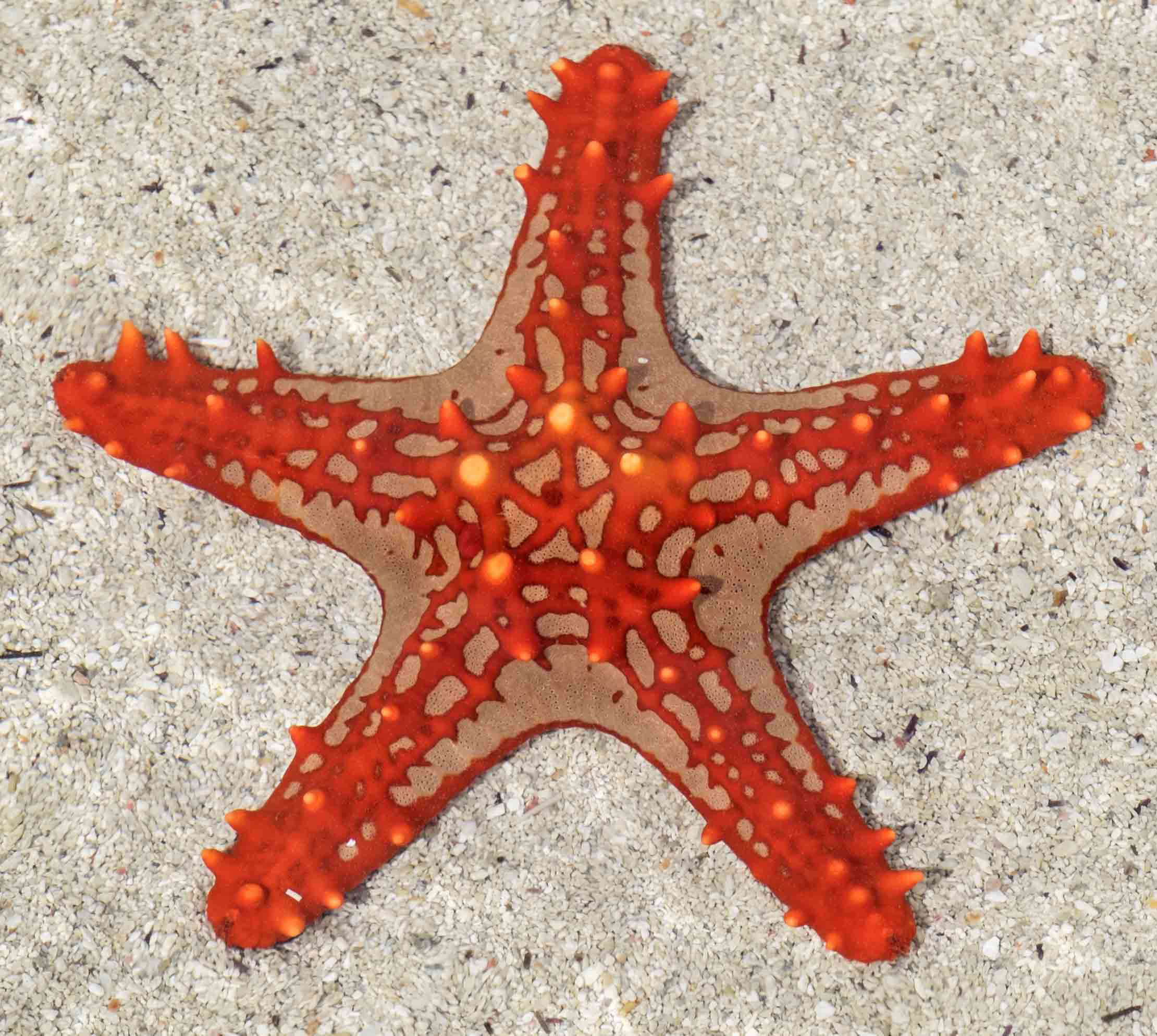 Starfish - sometimes called Sea Stars - aren't fish at all; they're related to urchins and sand dollars