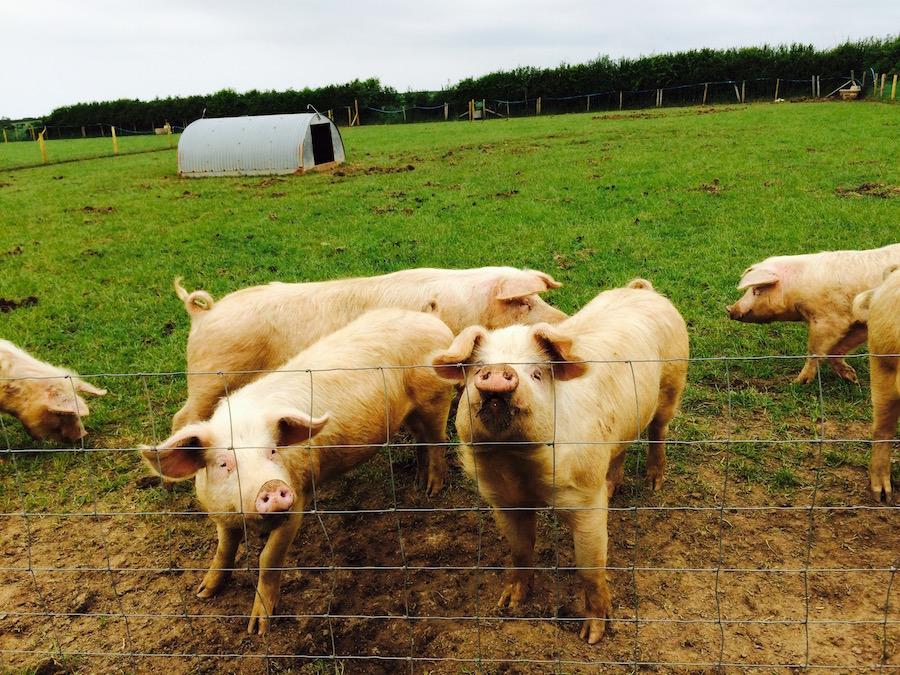 Slade Farm Pigs