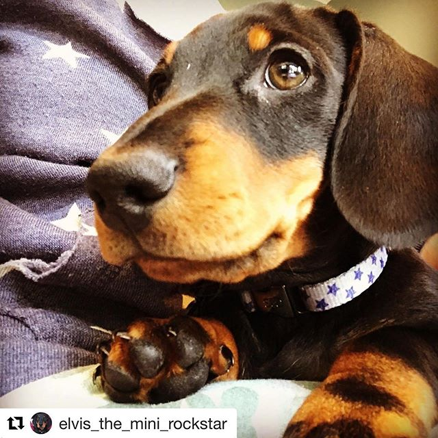 Elvis has entered the 'gram. 🐶🌭 #Repost @elvis_the_mini_rockstar with @get_repost ・・・ Yes it hasn't escaped my notice either, that she bought me a collar to match her jumper. 🙄. I feel I'm styling it out.  #twinning👯♀️ #dachshundsofinstagram #dachshundpuppy #minidachshund #sausagedogpuppy #dogsoflondon #officialsausagesquad #sausagedoglove #miniaturedachshund