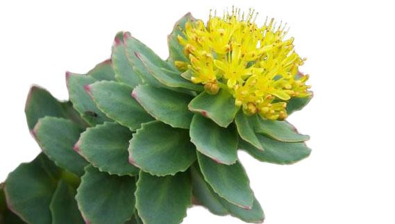 a rhodiola plant