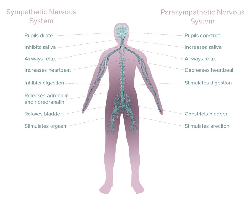the autonomic nervous system is responsible for the symptoms of stress and relaxation