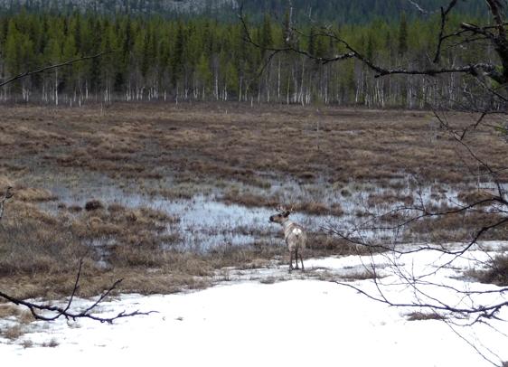 A reindeer on spring pastures . Photo: Alessia Ubon