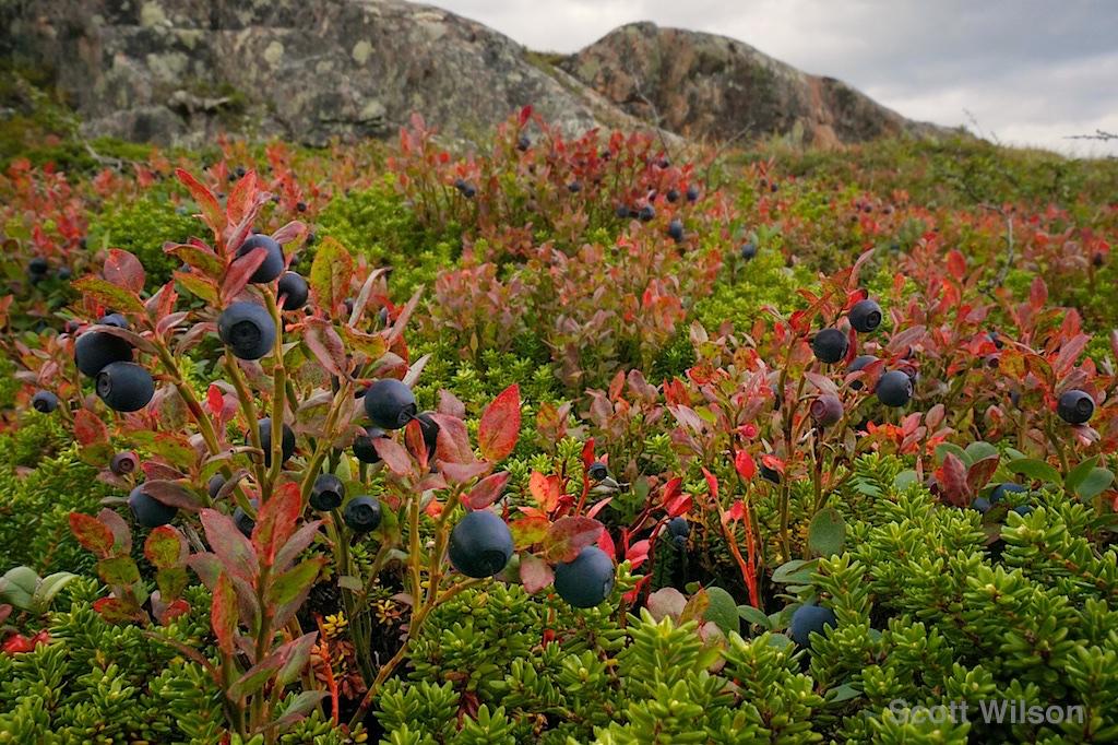 Blueberriesby Scott Wilson 1024.jpg