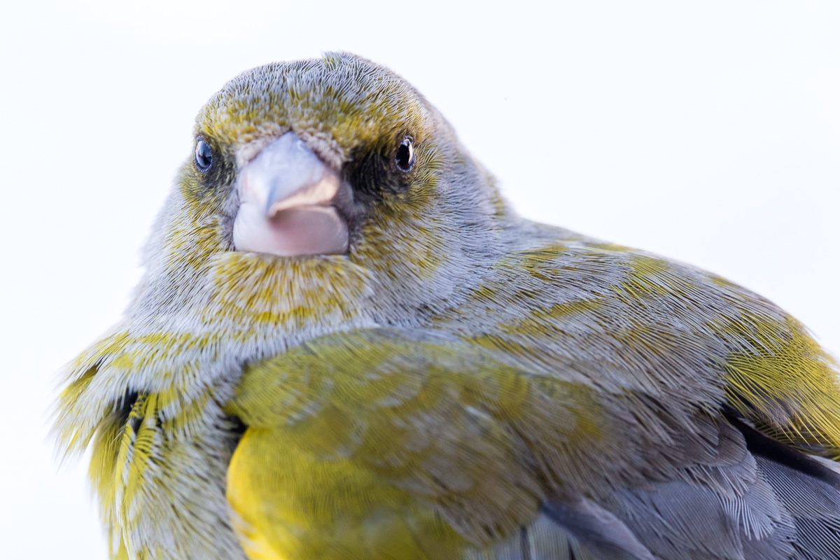Greenfinch taken by Oliver Wright 4.jpg