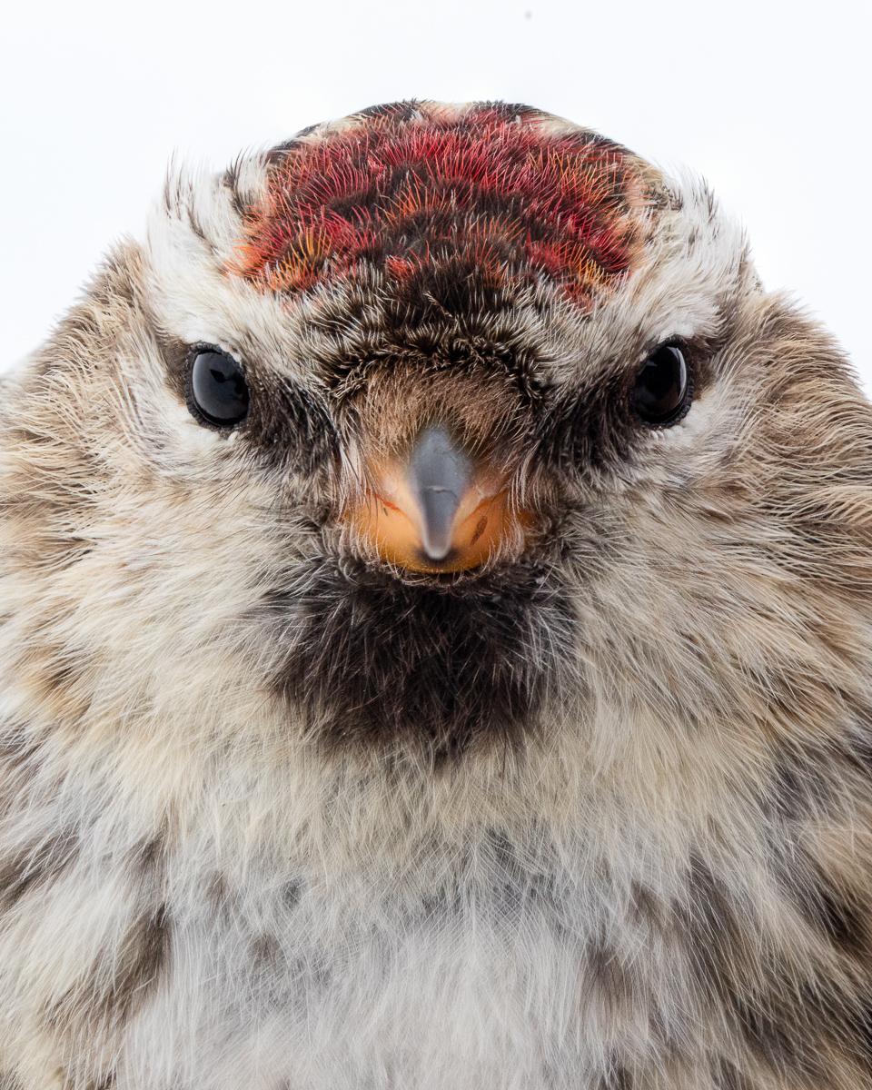 Redpoll taken by Oliver Wright.jpg