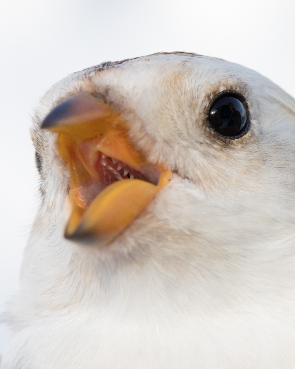 Snow bunting taken by Oliver Wright.jpg