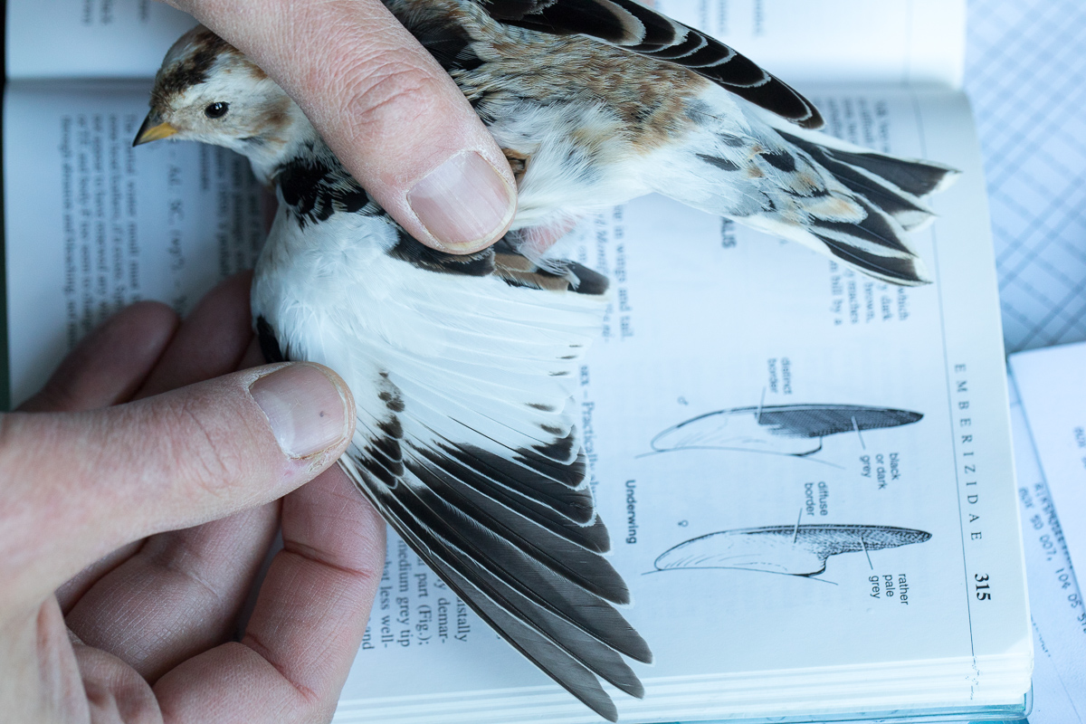Ringing a snow bunting taken by Oliver Wright.jpg