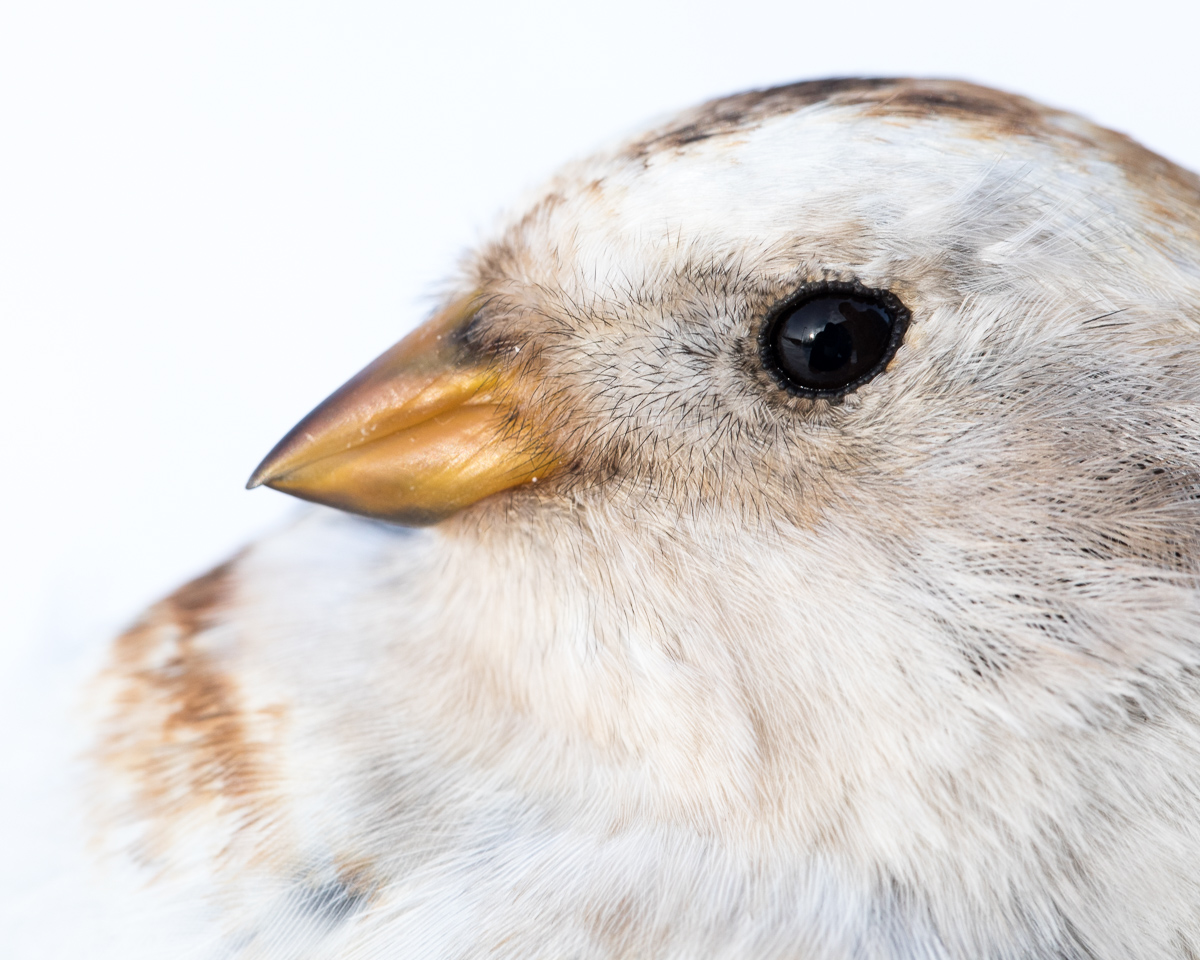 Snow bunting taken by Oliver Wright 2.jpg