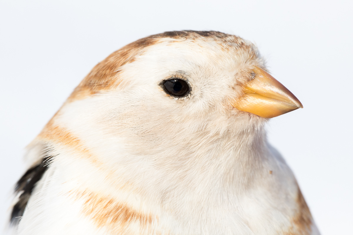 Snow bunting taken by Oliver Wright 3.jpg