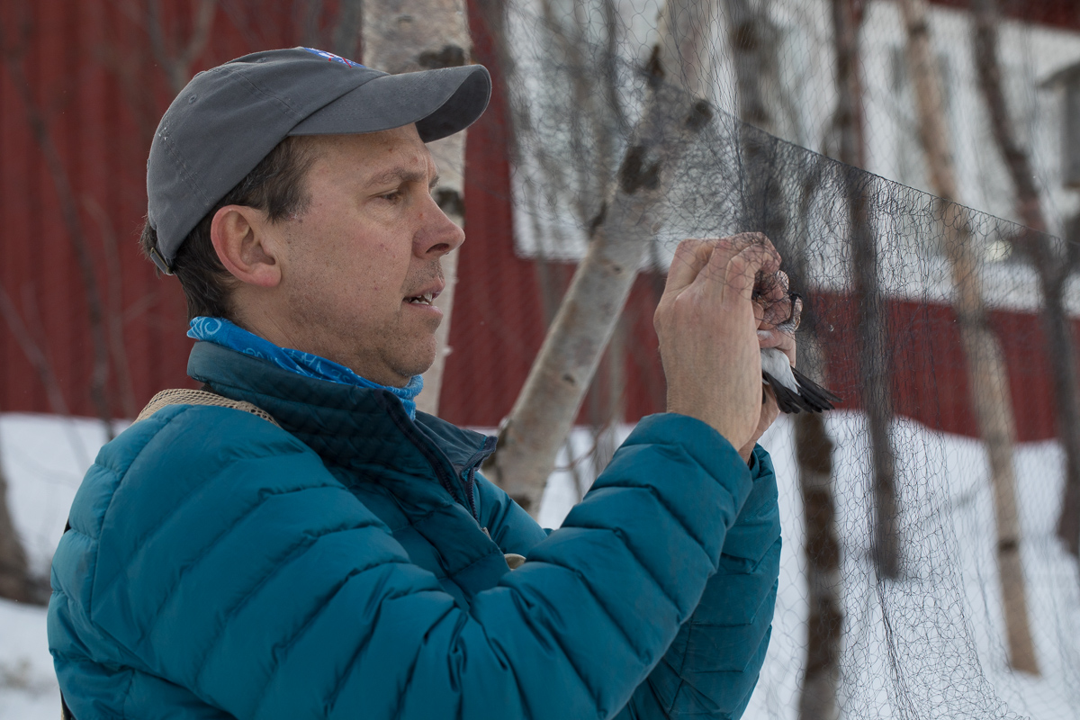 Keith Larson extracting snow bunting taken by Oliver Wright.jpg