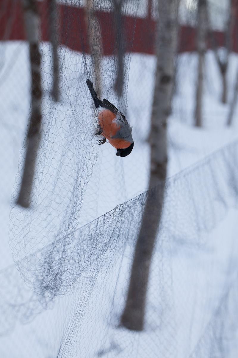 Male Bullfinch in the net taken by Oliver Wright.jpg