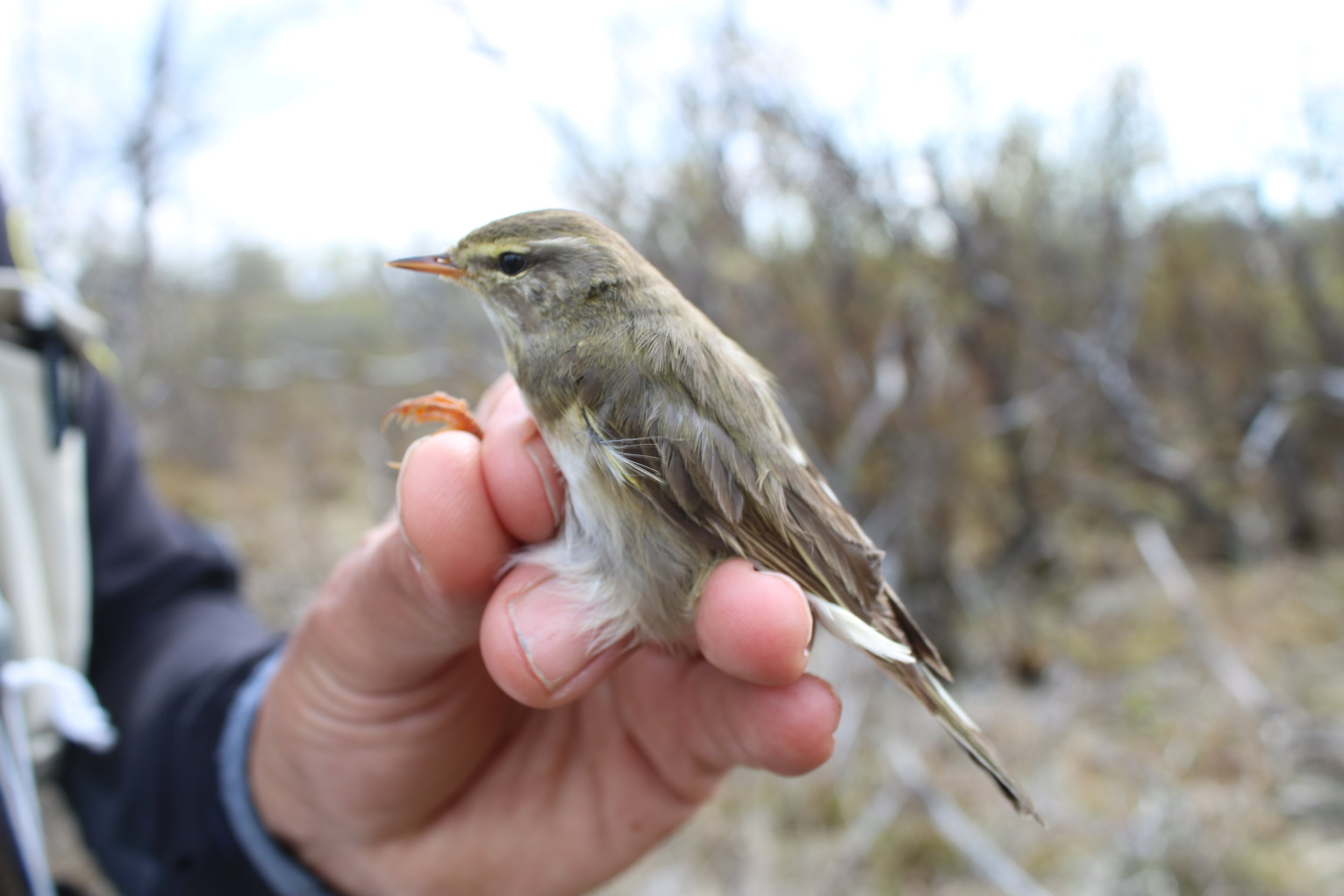Common willow warbler