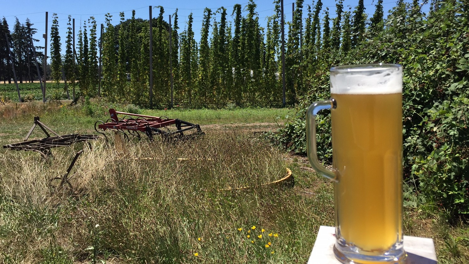 The hop fields just outside Agrarian Brewing.