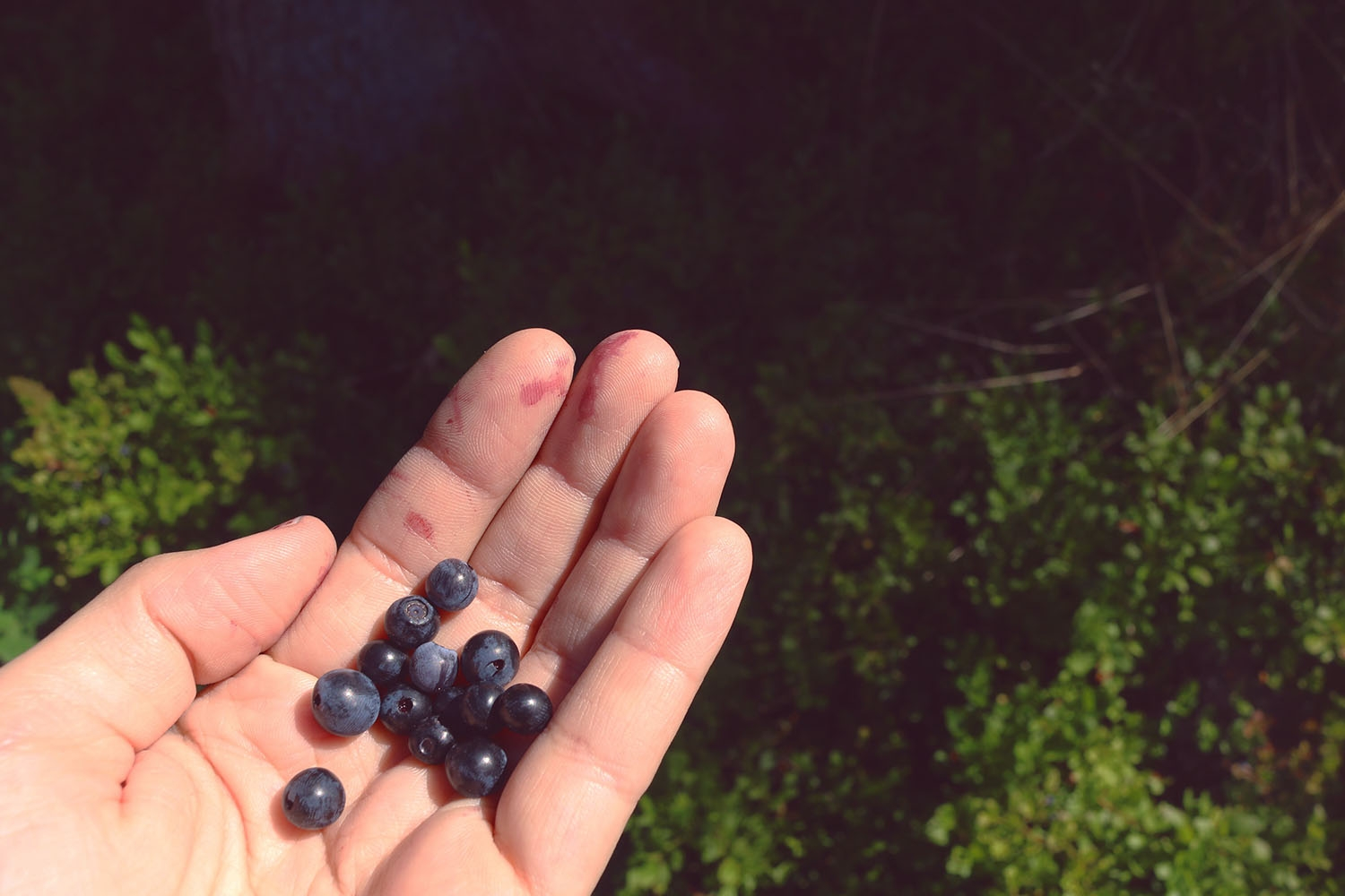bluberries in the forest