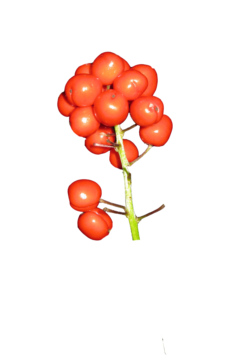 baneberry+red+berries+poisonous+plant+Southeast+Alaska.png