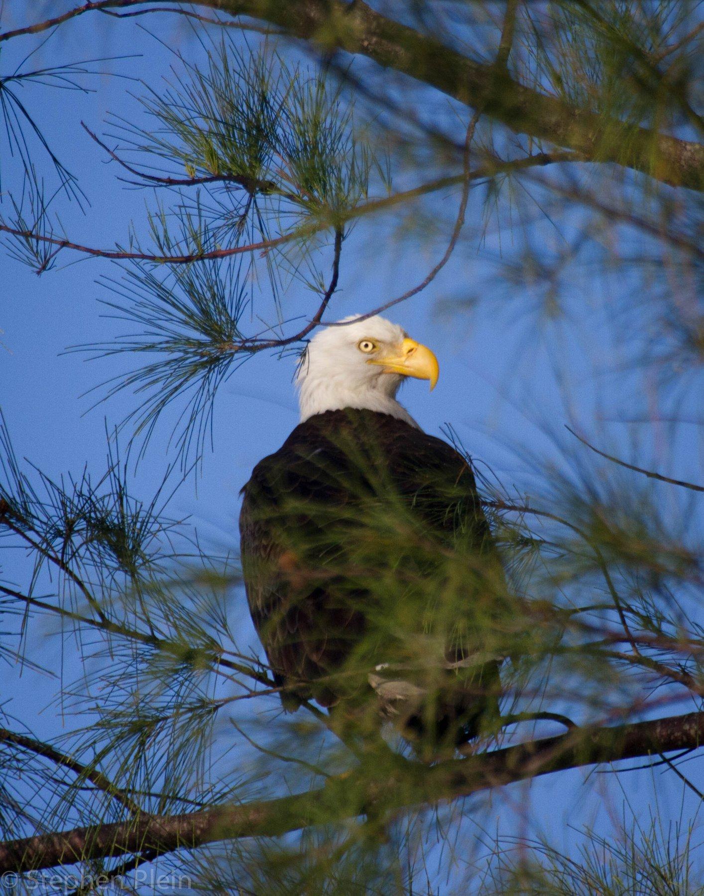 Bald eagle on North Captiva Island