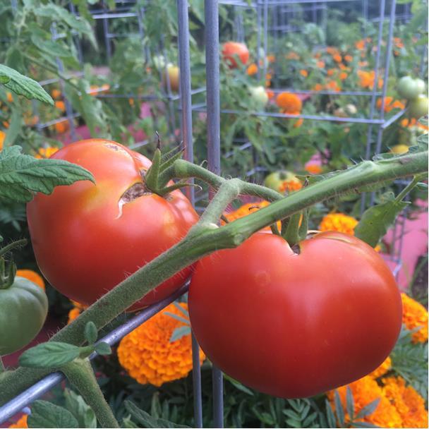 jersey tomatoes.jpg