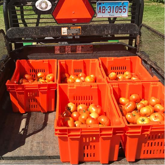 tomatoes in gator.jpg