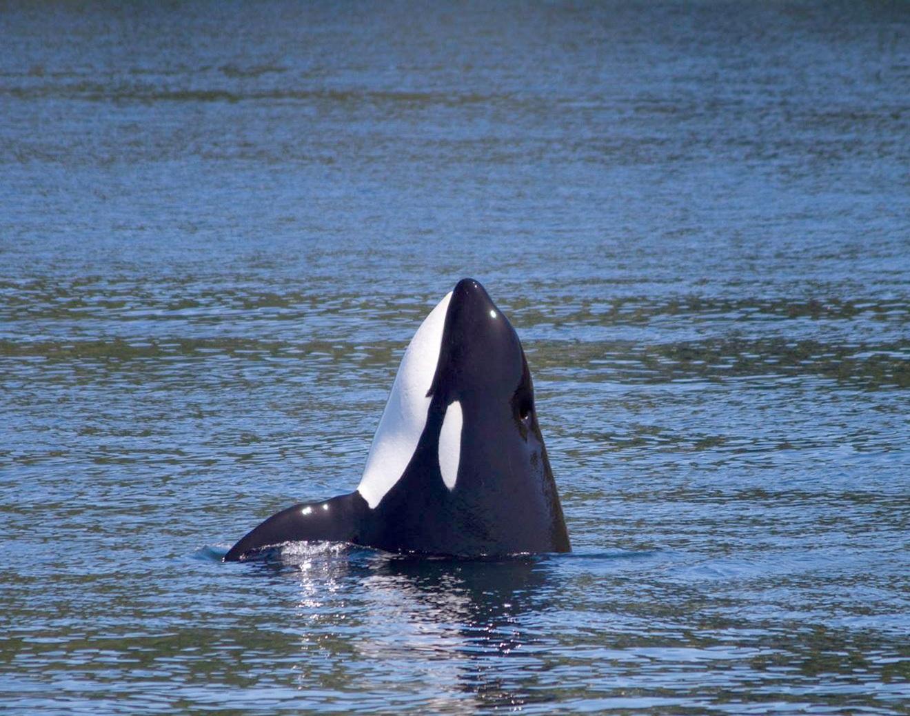 orca whale, wedding, puget sound express