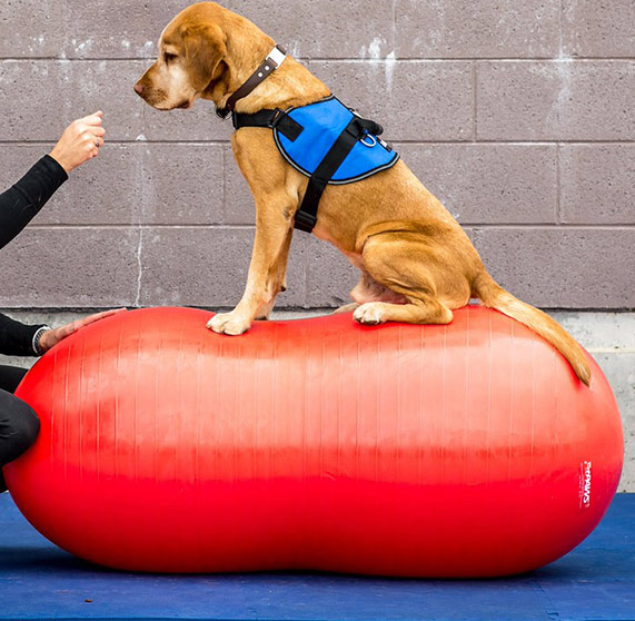 FitPaws - - Sells a wide-array of equipment that can be used for rehabilitation, conditioning and agility- Products can be ordered directly- It is highly recommended that you consult with us to determine which equipment will be best suited to your pet's needs