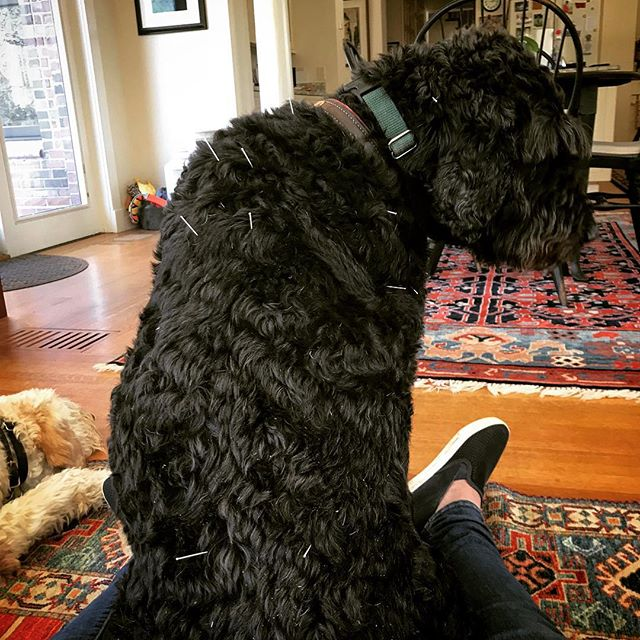 This Doodle gets acupuncture for weakness in his back legs and soreness back but I enjoy his company so we both benefit from his sessions 🐩🐕💕💆 #moorepetmobility #veterinaryacupuncture #veterinaryrehabilitation #doodlesofinstagram #doodlelove #rehabvets