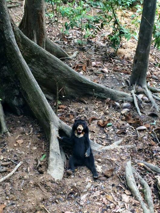 The world's smallest bears: the sunbear!! ❤
