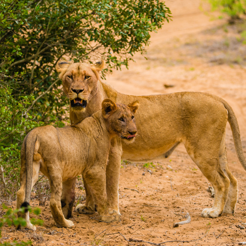 shannon_lions.jpg