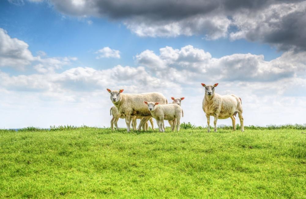 lamb2.jpg